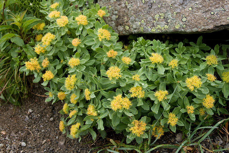Holistic Beginnings: Rhodiola rosea, golden root, or roseroot for depression