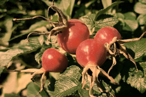 health benefits and medicinal uses of rose hips